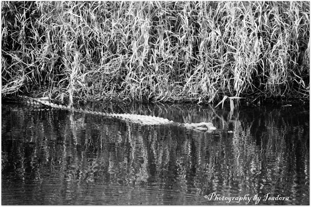 Alligator Forward view.web