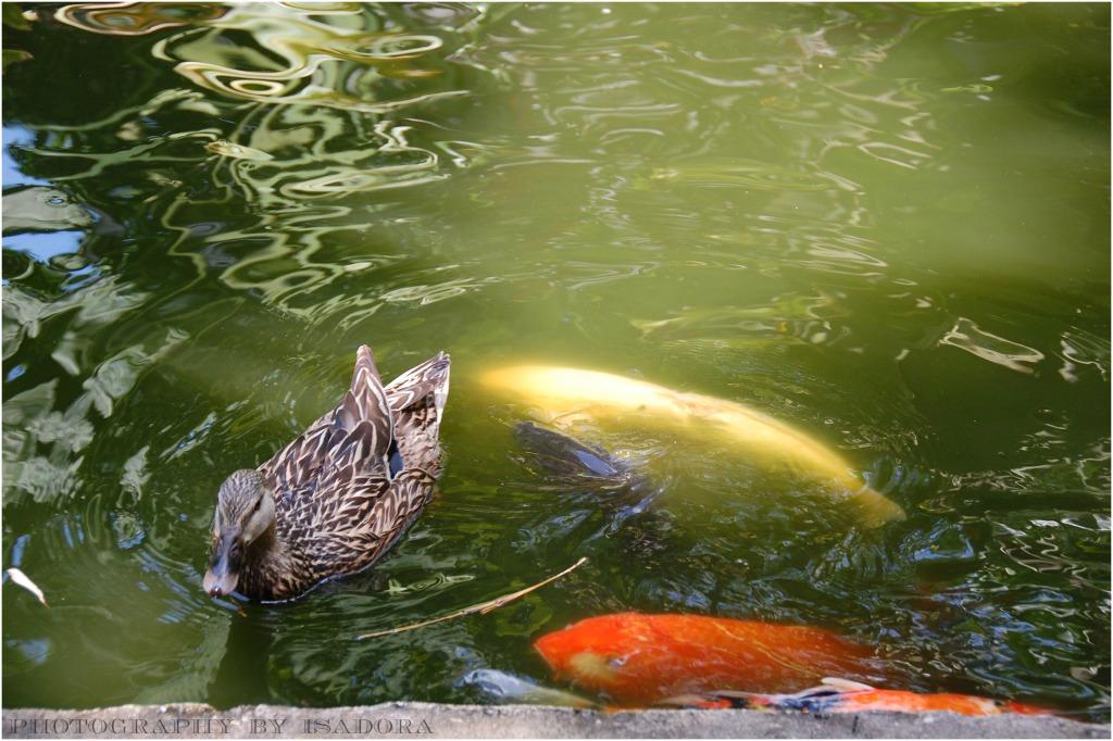 Ducky-Koi.web