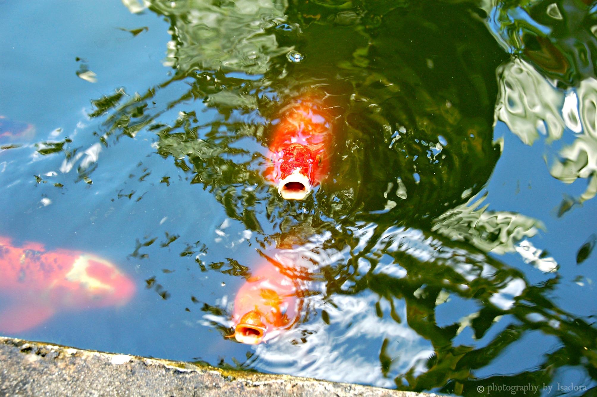Koi Fish.web